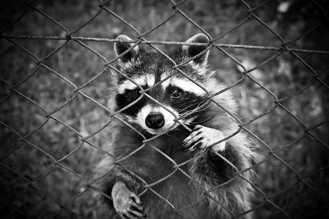 raccoon-1612593_640