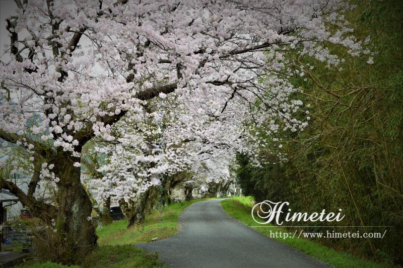 あでやかに桜を撮る設定/OLYMPUS PEN Lite E-PL6